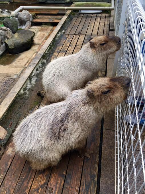 写真2.  みんなのHawaiiansにて、カピバラさんカップル Photo by me