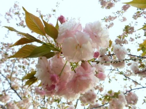 入社1年目の桜の写真です